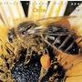 Piccola Rapsodia Dell'ape