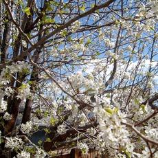 Cherry Blossoms mp3 Album by Mesita