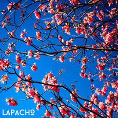 lapacho mp3 Single by damaa.beats & francis neverfrozen